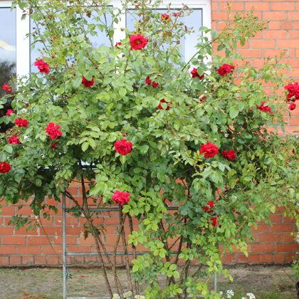 Rozes zied arī mūsu dārzā